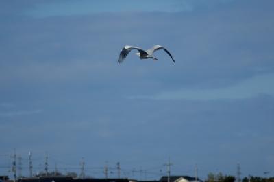 soku_12354.jpg :: 動物 鳥 野山の鳥 アオサギ
