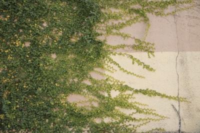 soku_12357.jpg :: 植物 その他 つた 蔦 エクステリア 壁