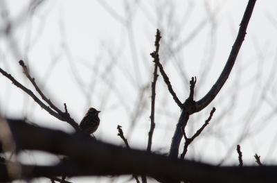 soku_12373.jpg :: 動物 鳥 野山の鳥 カシラダカ