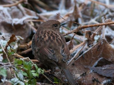 soku_12410.jpg :: 動物 鳥 野山の鳥 カヤクグリ