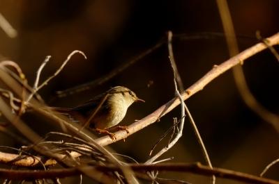 soku_12462.jpg :: 動物 鳥 野山の鳥 ウグイス