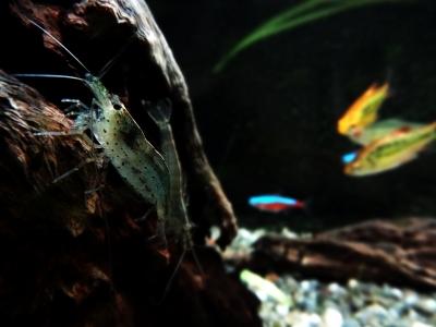 soku_12467.jpg :: 動物 ペット 熱帯魚 ヤマトヌマエビ