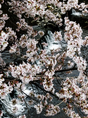 soku_12497.jpg :: PowerShotS95 風景 自然 水分 植物 花 桜 サクラ 川