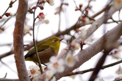 soku_12571.jpg :: 植物 花 梅 ウメ 動物 鳥 野山の鳥 メジロ