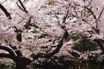 soku_12597.jpg :: 植物 花 桜 サクラ