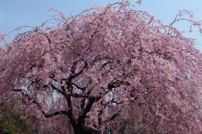 soku_12598.jpg :: 植物 花 桜 サクラ