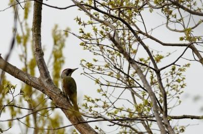 soku_12760.jpg :: 動物 鳥 野山の鳥 アオゲラ