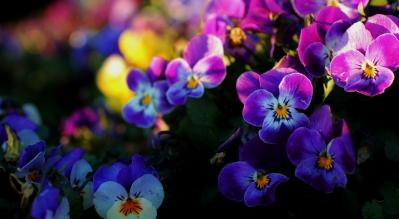 soku_12925.jpg :: 花 植物 パンジー