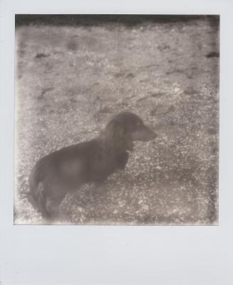 soku_12926.jpg :: ダックスフンド 動物 哺乳類 犬 イヌ ポラロイド インスタントフイルム 白黒 モノクロ