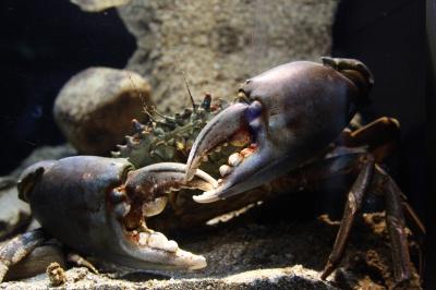 soku_12989.jpg :: 水族館 動物 海の生物 カニ