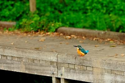 soku_13050.jpg :: 動物 鳥 野山の鳥 カワセミ
