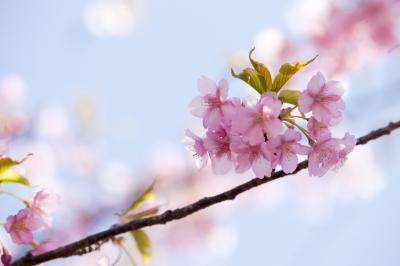 soku_13090.jpg :: 植物 花 桜 サクラ