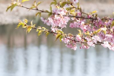 soku_13092.jpg :: 植物 花 桜 サクラ