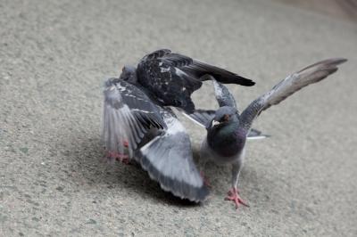soku_13363.jpg :: 動物 鳥 鳩 ハト