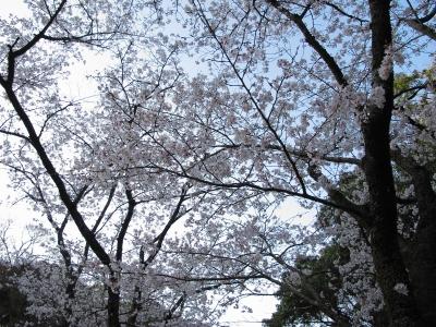 soku_13392.jpg :: 植物 花 桜 サクラ