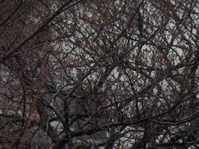 soku_13539.jpg :: 植物 花 桜 サクラ つぼみ