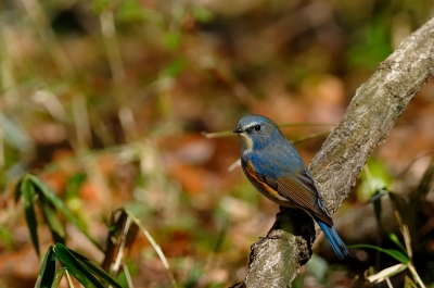 soku_13565.jpg :: 動物 鳥 野山の鳥 ルリビタキ