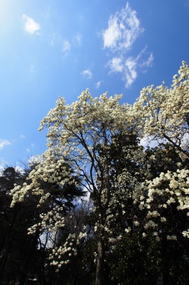 soku_13566.jpg :: 風景 自然 樹木 植物 花 白い花