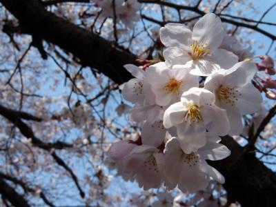 soku_13743.jpg :: 植物 花 桜 サクラ