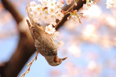 soku_13765.jpg :: 植物 花 桜 サクラ 動物 鳥 野山の鳥