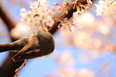 soku_13766.jpg :: 植物 花 桜 サクラ 動物 鳥 野山の鳥