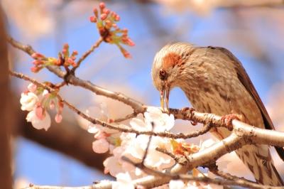 soku_13767.jpg :: 植物 花 桜 サクラ 動物 鳥 野山の鳥