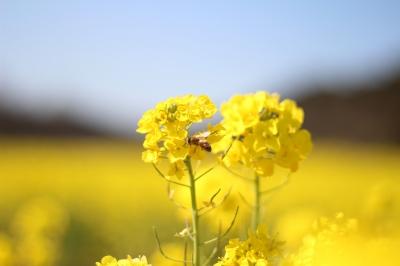soku_13802.jpg :: 植物 花 菜の花 動物 虫 昆虫 ミツバチ