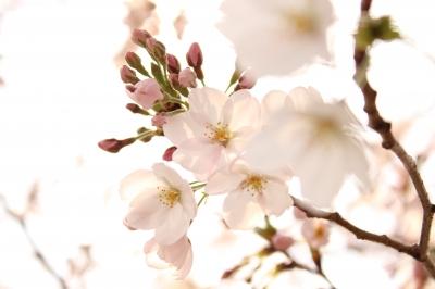soku_13823.jpg :: 植物 花 桜 サクラ ハイキー