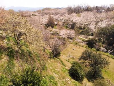 soku_13838.jpg :: 植物 花 桜 サクラ