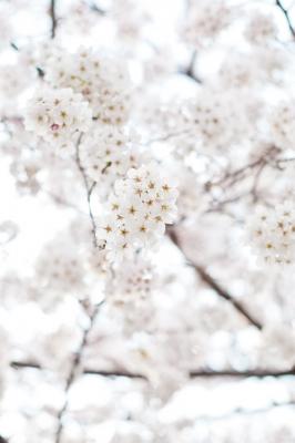 soku_13855.jpg :: 植物 花 桜 サクラ 花びら ハイキー