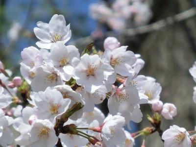 soku_13888.jpg :: 植物 花 桜 サクラ