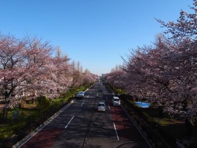 soku_13909.jpg :: 風景 街並み 植物 花 桜 サクラ