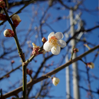 soku_13978.jpg :: 植物 花 梅 ウメ スクエアフォーマット
