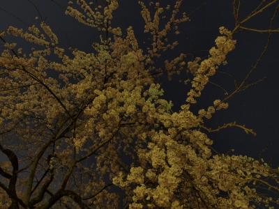 soku_14074.jpg :: 植物 花 桜 サクラ 夜桜