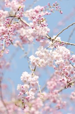 soku_14093.jpg :: 千鳥ヶ淵 植物 花 桜 サクラ ハイキー