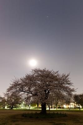 soku_14174.jpg :: 植物 桜 夜景 夜桜 月光写真 超長時間露光