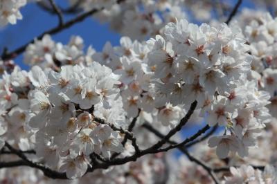 soku_14208.jpg :: 植物 花 桜 サクラ 洗足池