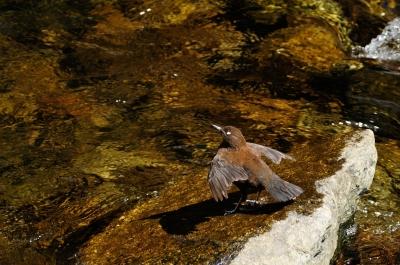 soku_14244.jpg :: カワガラス 動物 鳥 野山の鳥