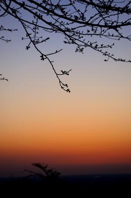 soku_14259.jpg :: 風景 自然 空 朝焼け 桜蕾 シルエット