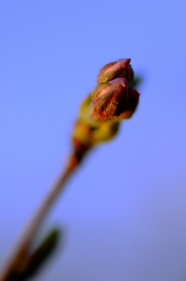 soku_14260.jpg :: 植物 花 桜 サクラ 蕾 マクロ