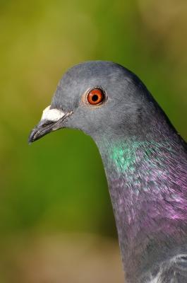 soku_14262.jpg :: 動物 鳥 鳩 ハト