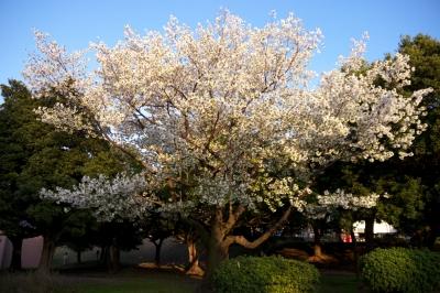 soku_14378.jpg :: 植物 花 桜 サクラ