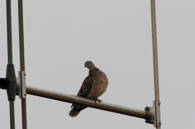 soku_14456.jpg :: 動物 鳥 鳩 キジバト by Niigata