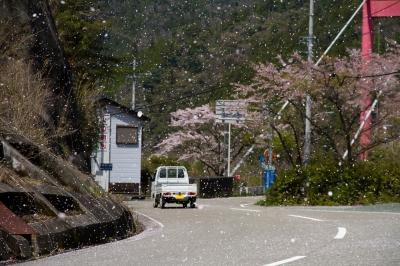 soku_14469.jpg :: 植物 花 花びら 桜吹雪 サクラ