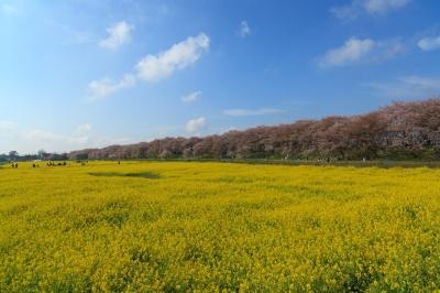soku_14545.jpg :: 桜 菜の花