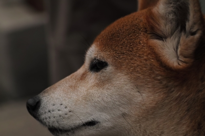 soku_14546.jpg :: SD1 犬 動物 ペット