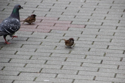 soku_14571.jpg :: 動物 鳥 雀 スズメ 鳩