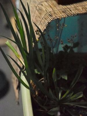 soku_14586.jpg :: 植物 その他 野菜 ネギ
