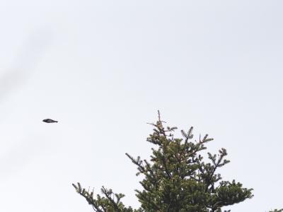 soku_14646.jpg :: 動物 鳥 野山の鳥 オオルリ