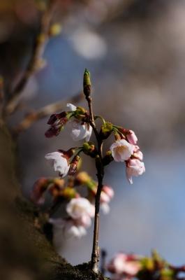 soku_14779.jpg :: 植物 花 桜 サクラ